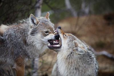 Wolf derby