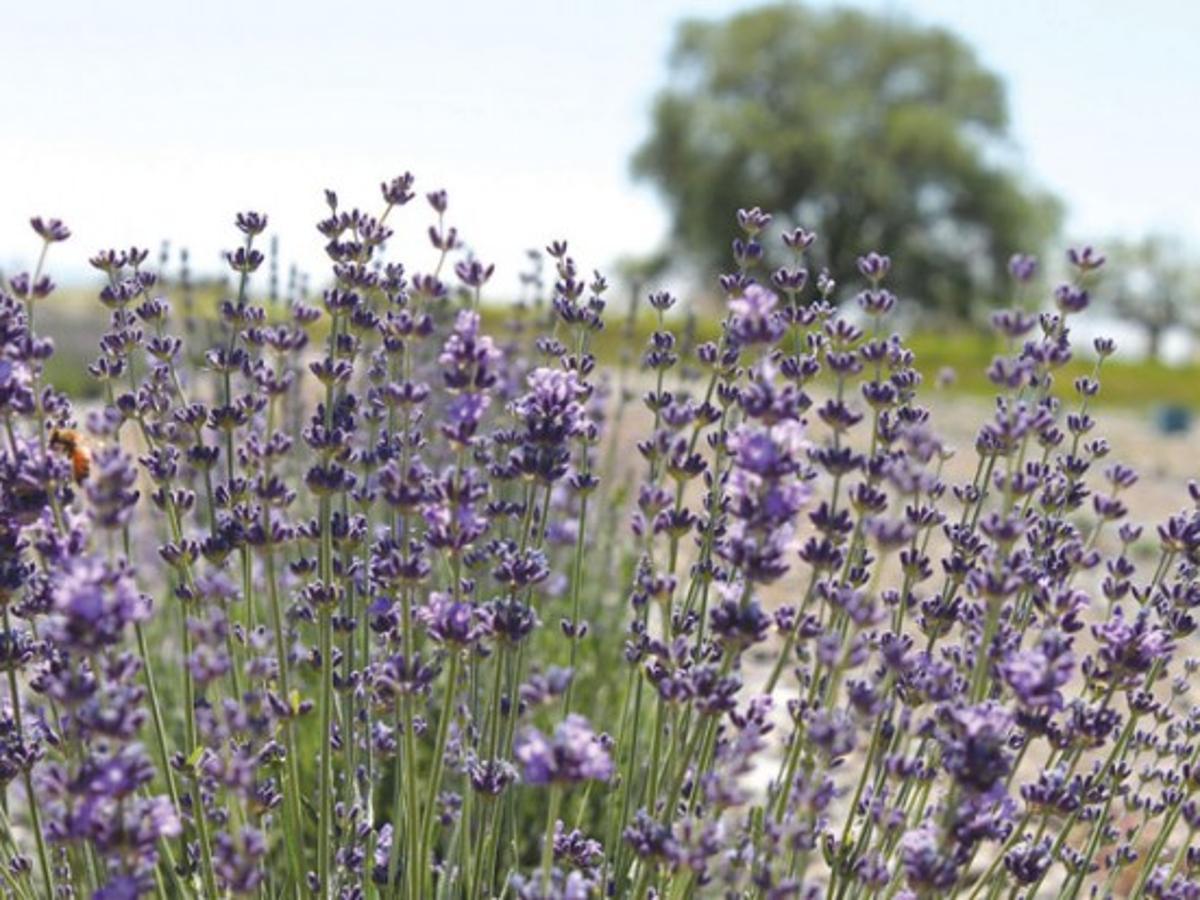 East Idaho Farm Specializes In Lavender Plants Members Idahostatejournal Com
