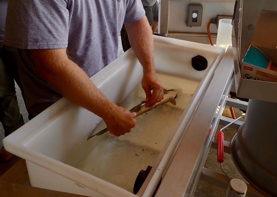 An IDFG staff member collecting a genetic sample from a sockeye salmon