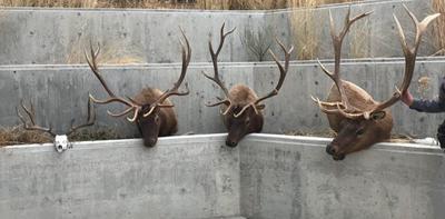 southeast idaho man sentenced in trophy elk poaching case xtreme