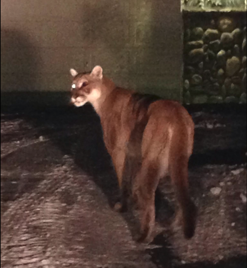 Fish And Game Kills Mountain Lion In Lava Hot Springs