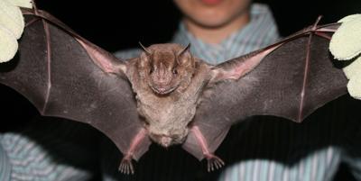 More rabid bats in East Idaho (copy)
