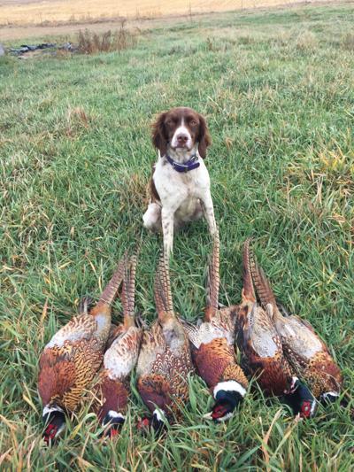 Hunting dog and pheasants
