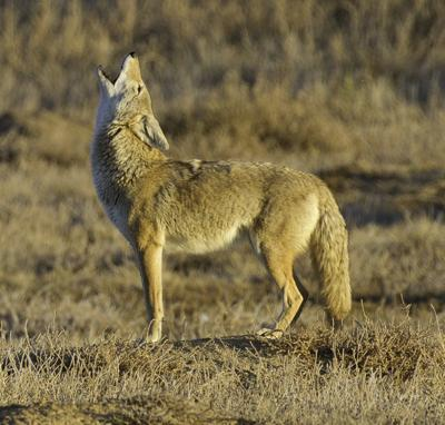 Coyote for Flag