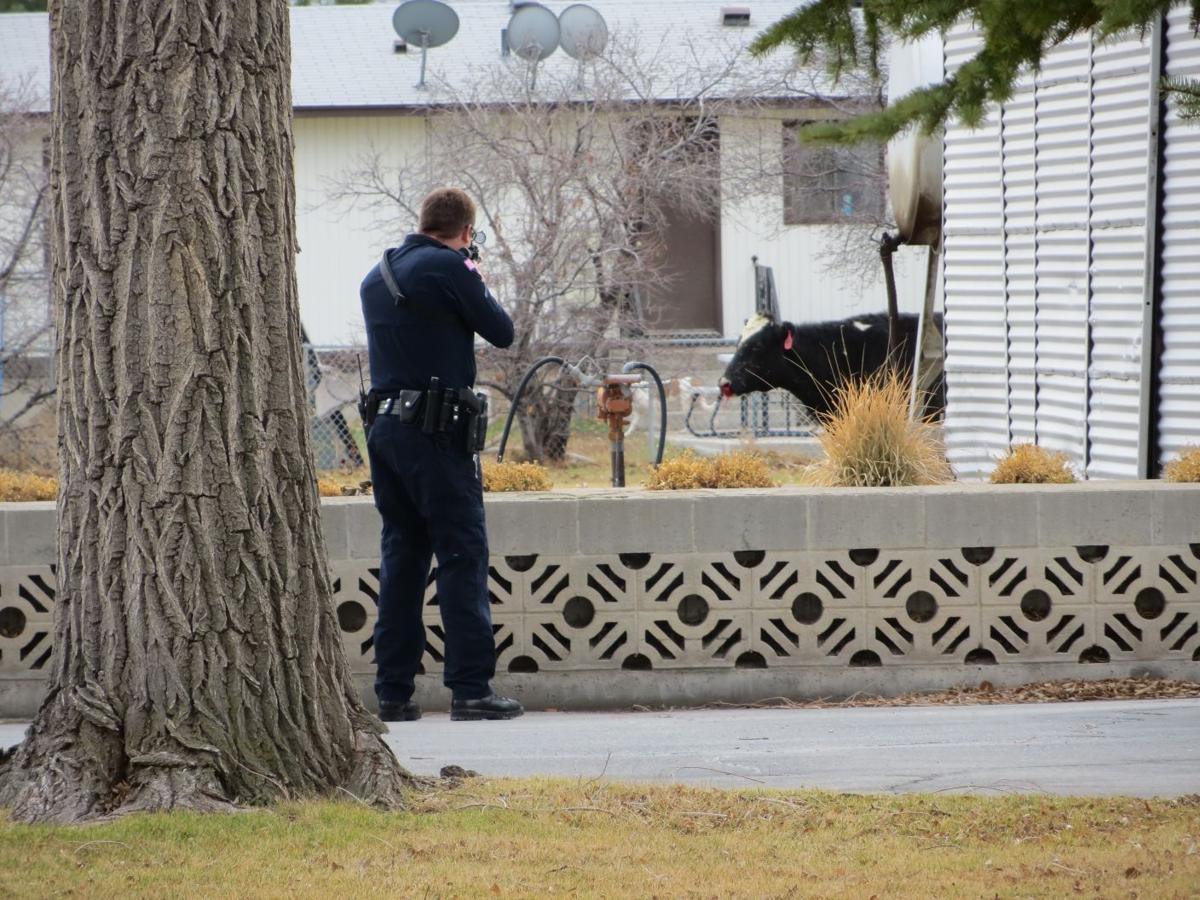 Pocatello police shoot cow