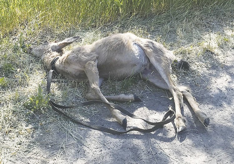 Deer with Leash2