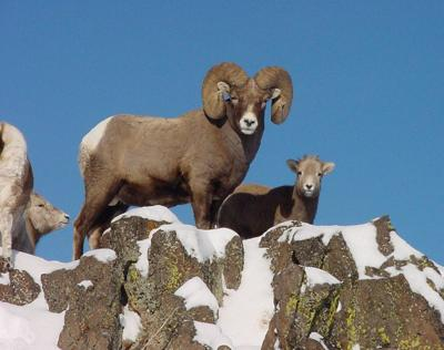 Bighorn sheep, Hells Canyon