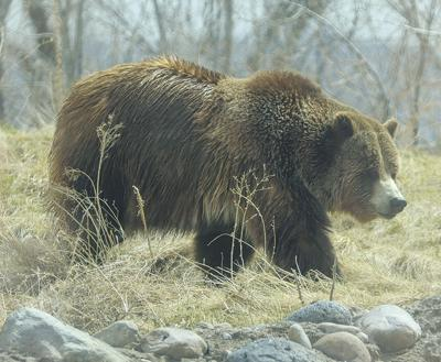Grizzly Bear at Zoo Idaho