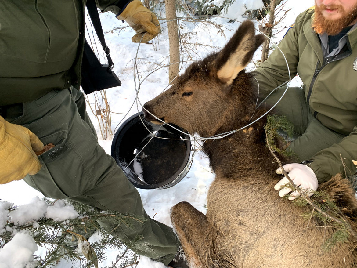 Elk calf freed from a discarded tomato cage and bucket near Hailey