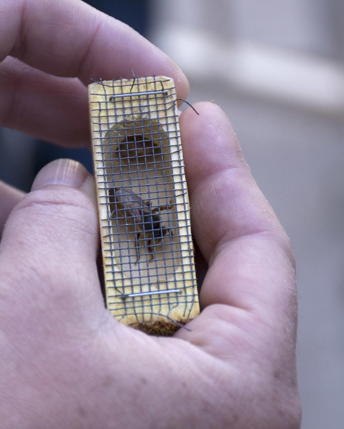 Queen bee removed from Swanson Arch