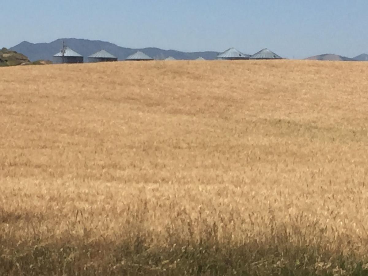 Dryland wheat 2