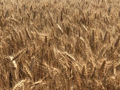 Wheat yields (copy)