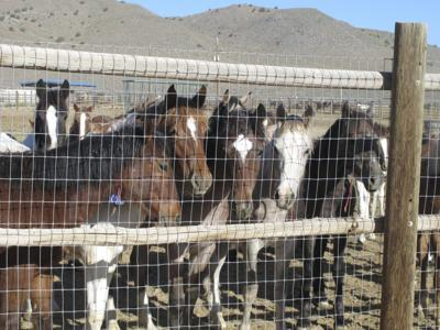 Wild Horses Slaughter Corral