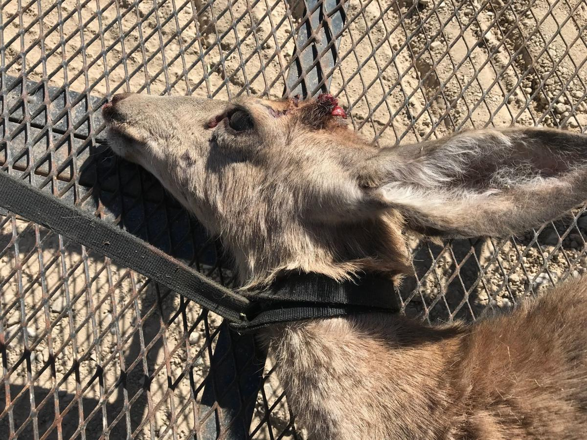 Leashed deer found dead in Gibson Jack area of Pocatello
