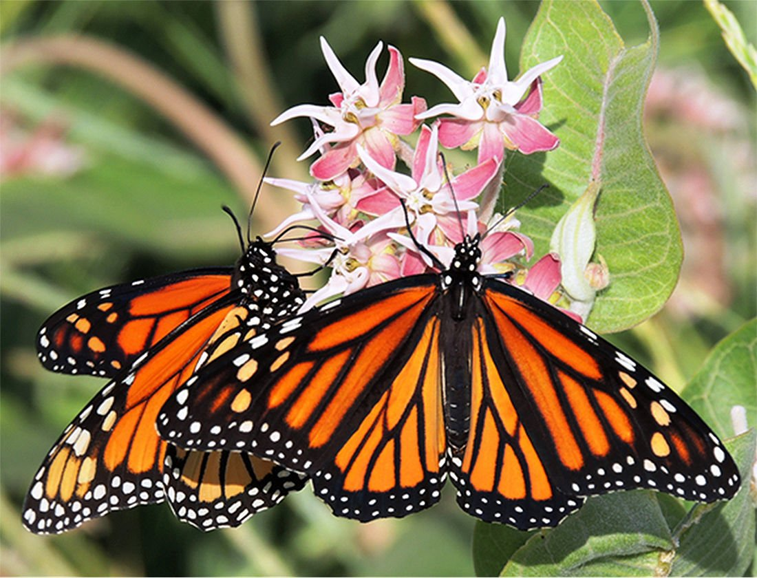 butterflies on milkweed