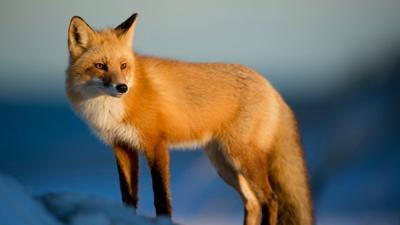 Officials Red Fox Fed By Grand Teton Visitors Killed For Safety