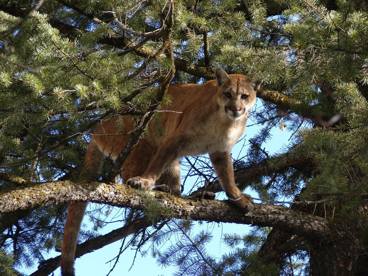 Treed mountain lion