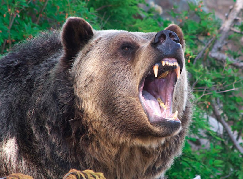 how to buy bear spray