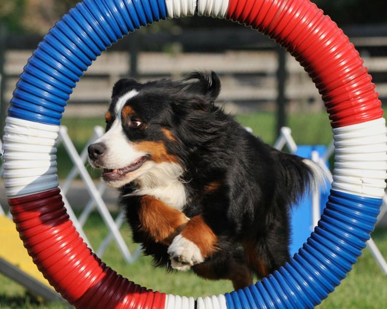 Lots Of Bling Handler Takes Bernese Dog To Nationals