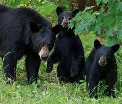 Black Bears Put Down