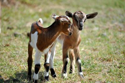 Alpine Animal Hospital Get Your Goat