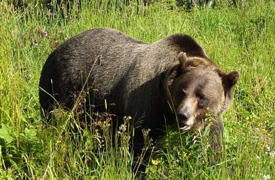 More grizzly bears roaming outside Yellowstone and Grand