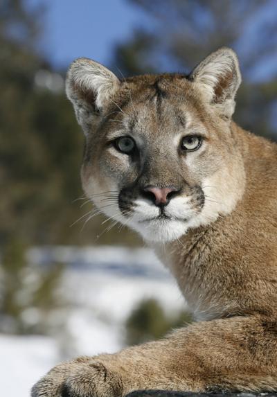 Mountain Lion close up