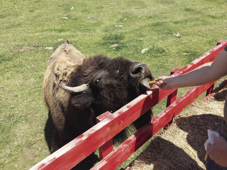 MAIN: Feeding the Bison