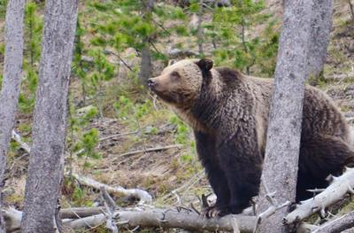 grizzly bear2
