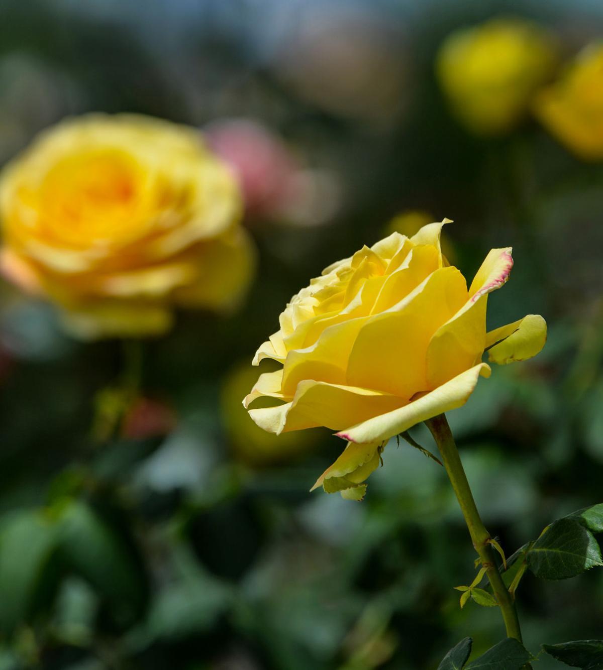 Roses 05-02-20 083