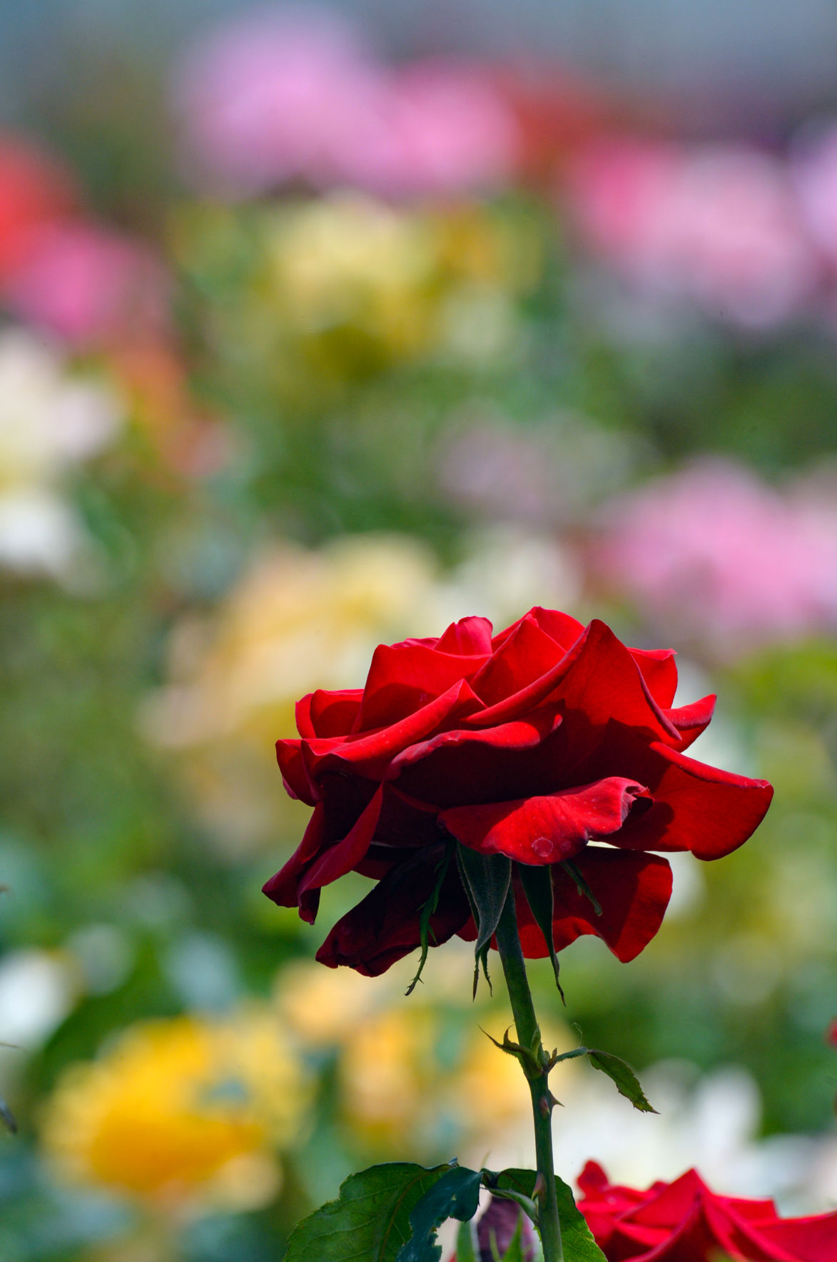 Roses 05-02-20 012