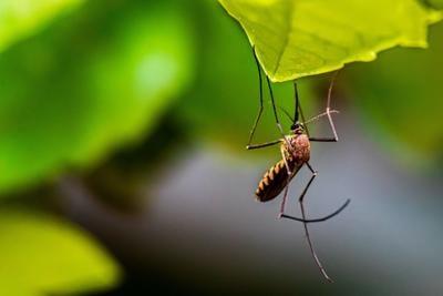Mosquito West Nile Virus Bug Leaf Syed Ali Unsplash.jpg