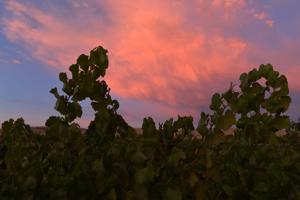 A summer sunset silhouettes the vineyards. (Photos – Doug Jorgensen)