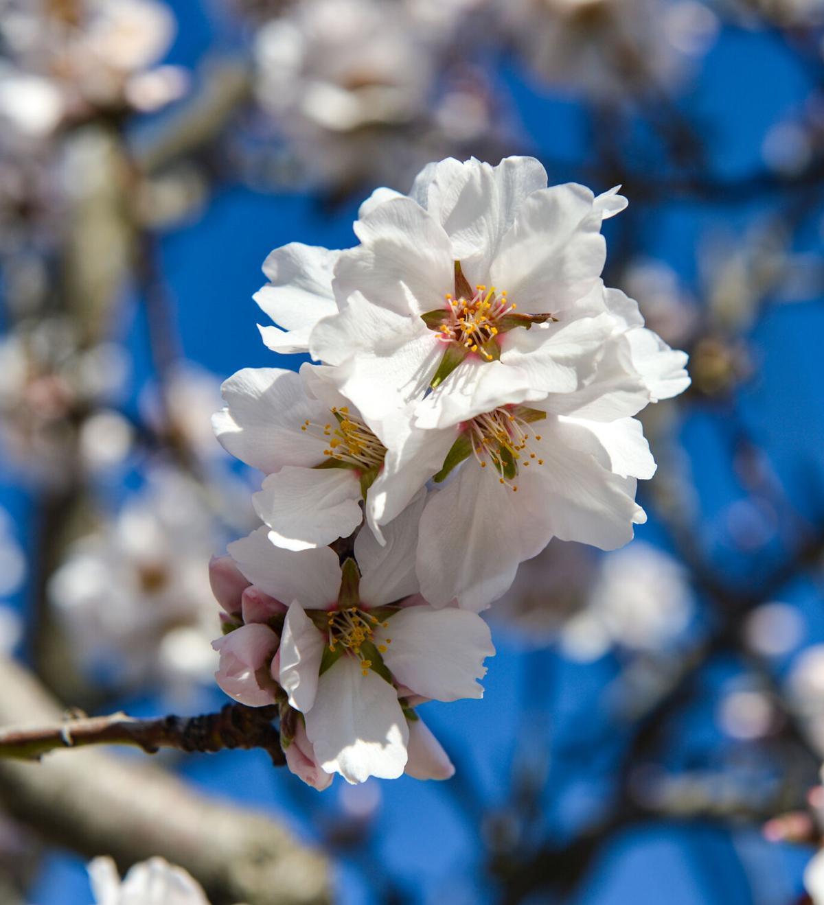 Almond Blossom  02-05-21 008