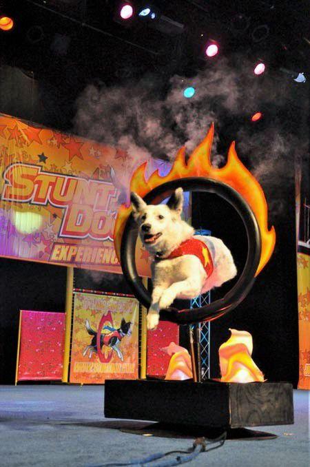 Chris Perondi's Stunt Dog Experience 2