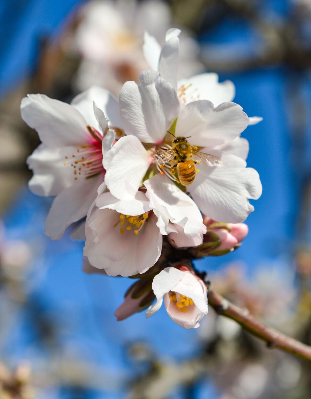 Almond Blossom  02-05-21 031