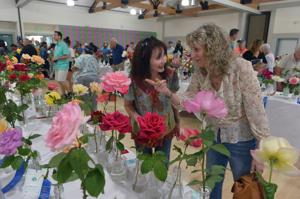 Brightly colored blooms filled the Pleasanton Senior Center during the 79th Annual Pleasanton Rose Show on Saturday. The show, which featured home grown roses, was presented by Alain Pinel Realtors and the City of Pleasanton. (Photos - Doug Jorgensen)