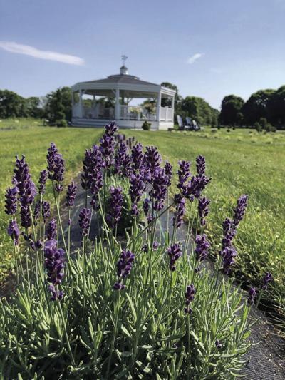 200701scl Lavender