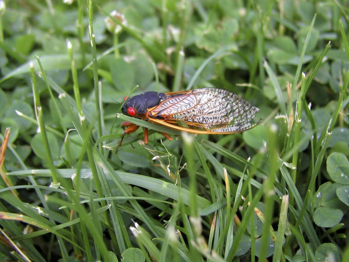 180621a-l cicada