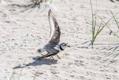 210601scl plovers