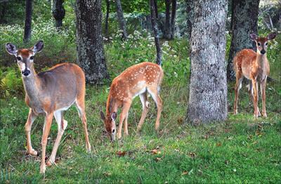 Deer Controversy in McLean
