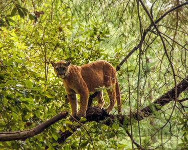 U S Mountain Lion Population UPDATED: No mor...