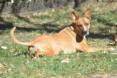 Pit Bull Mix Animal Shelter Dog Pixabay