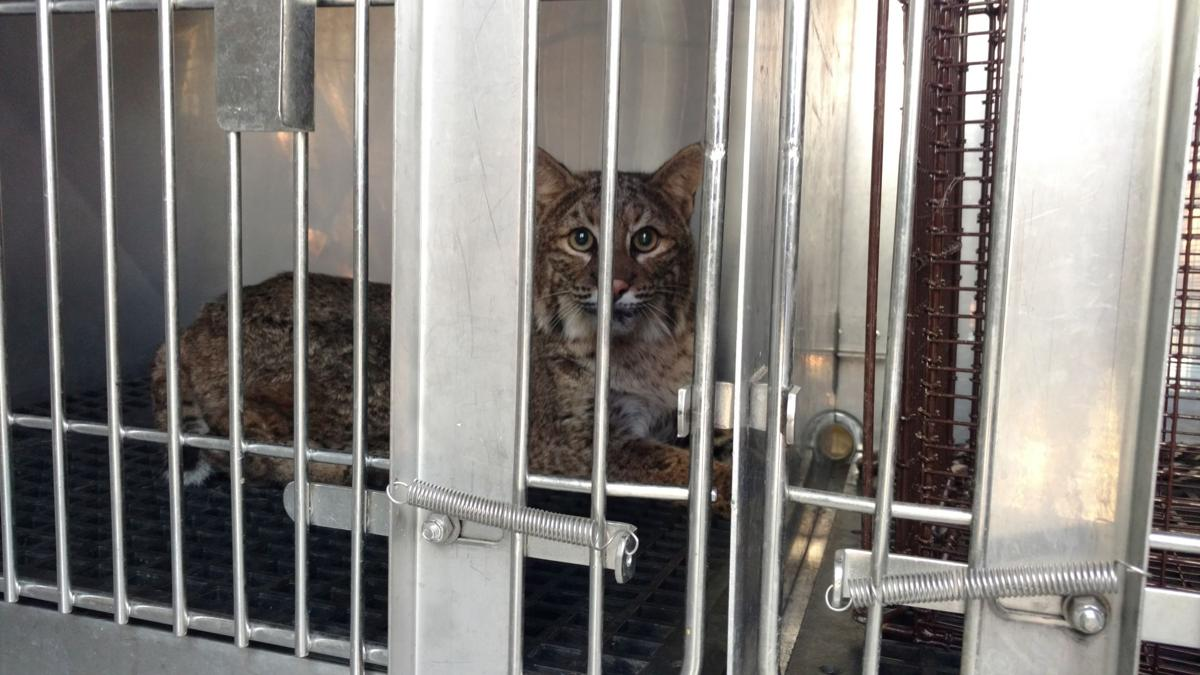 Bobcat found in grill of car in Richmond