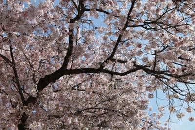 Cherry blossom tree trees bloom national mall park service