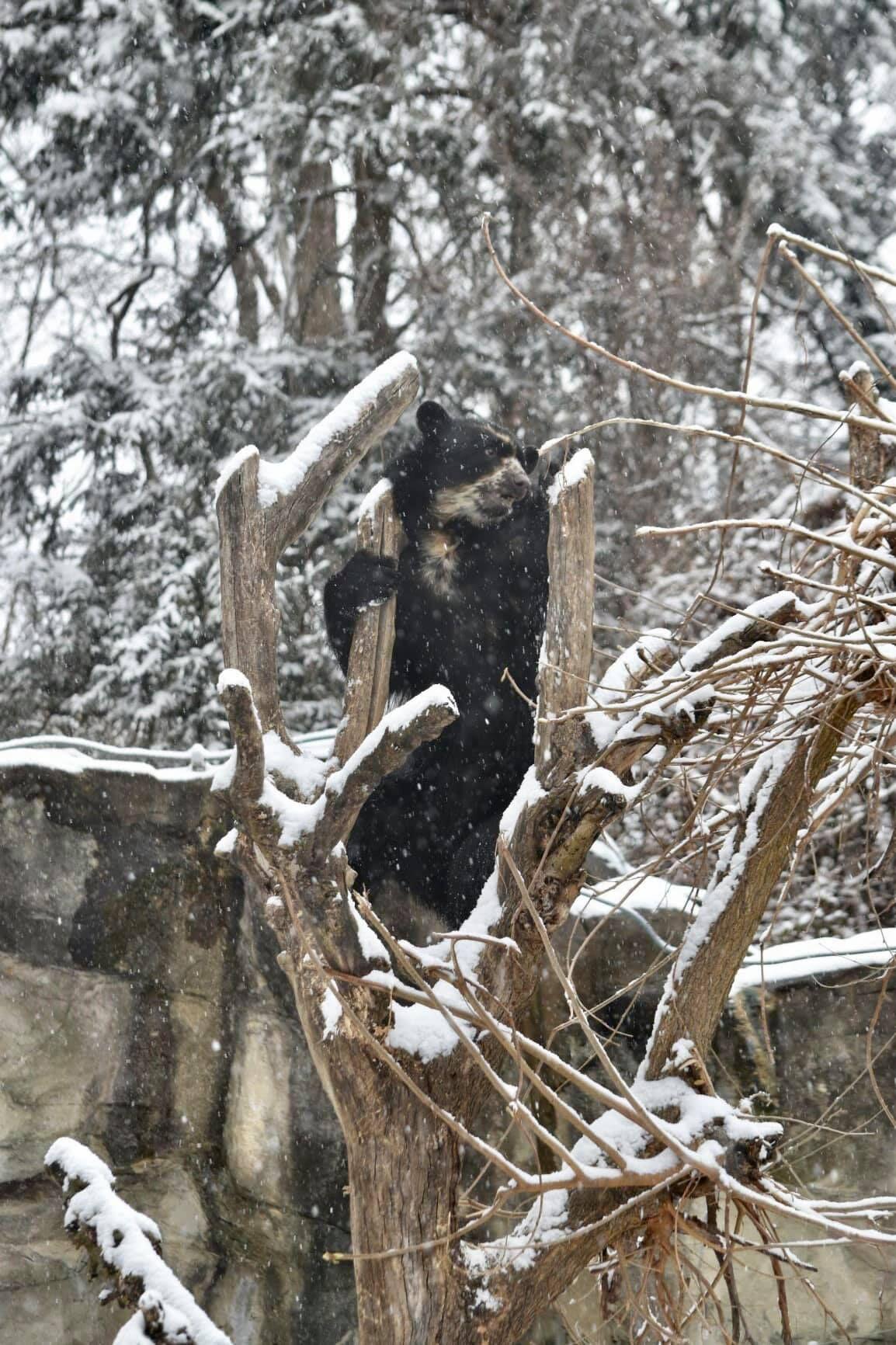 Andean Bear_snow.jpg