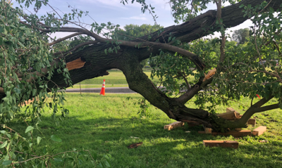 Mulberry tree damaged at Washington Monument