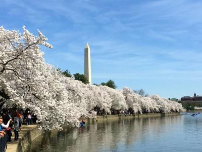 Cherry Blossom Trees Washington D.C.