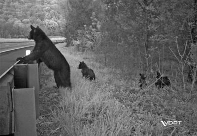 Bears crossing the road