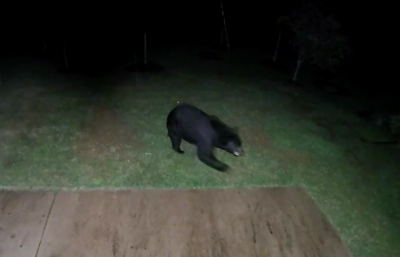 Black bear in Gainesville